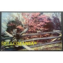 POSTCARD THE JUDAS TREE A FLASH OF COLOR IN VERDANT VIRGINIA  CC05025 USA